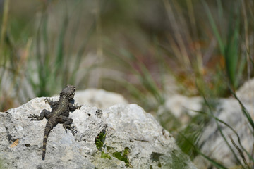 Lizard hardun on a rock