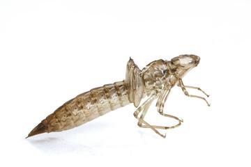 Dragonfly larval skin