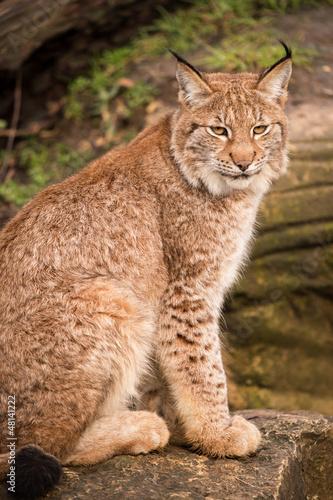 Tuinposter Lynx Lynx