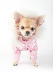 chihuahua puppy wearing glamorous pink jacket