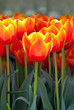 Bright spring tulips in bloom
