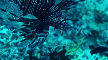 reef lion fish