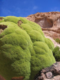 Llareta plant (Azorella compacta) - some are 3000 years old