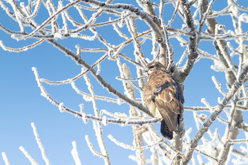 Common Buzzard ( Buteo buteo) on a branch in a winter scene
