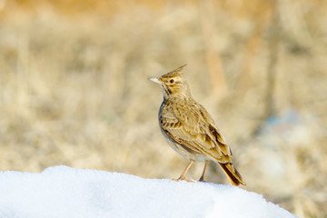 Crested Lark on the ground in winter scene /  Galerida cristata