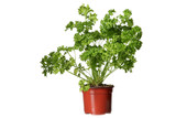 parsley herb plant growing in the  pot