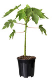 Young papaya tree in the plastic pot