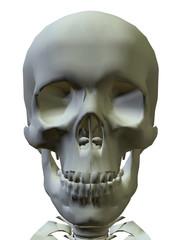 SKELETON - 3D