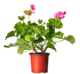 Pink geraniums in a pot