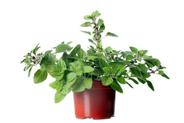 Oregano herb plant growing in the  pot
