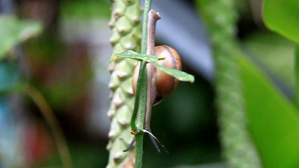 Common snail slowly climbing up