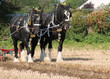 Two Heavy Shire Horses Pulling a Vintage Plough.