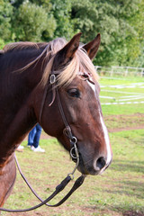 Pferd mit Halfter