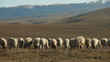 Flock Of Sheep Grazing On Mountain Plateau