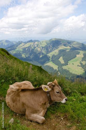 Milchkuh in der Schweiz
