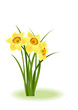 Spring Flowers. Yellow narcissus on white background