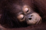 Thoughtful Orangutan