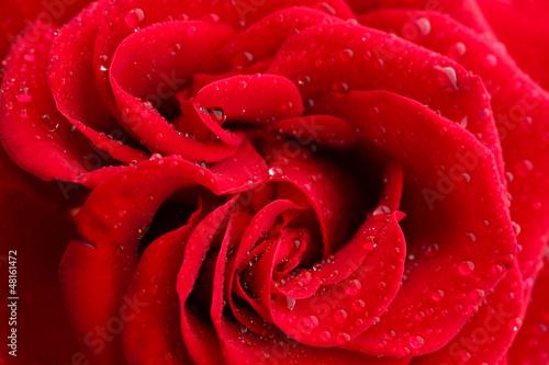 red rose, close up © Africa Studio