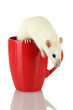 funny little rat in cup, isolated on white