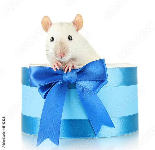 funny little rat in gift box, isolated on white