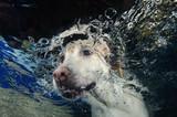 Fototapety Beautiful Labrador retriever diving underwater