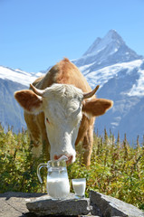 Swiss cow and jug of milk