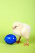 Küken steht vor blauem Ei