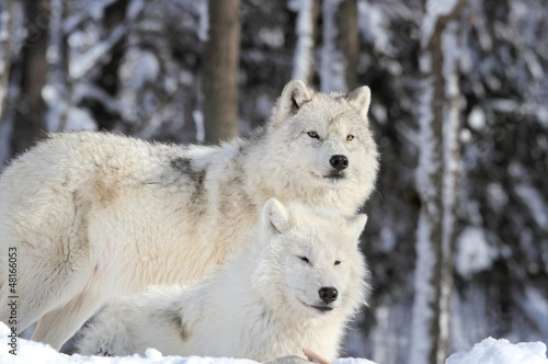loups sauvages
