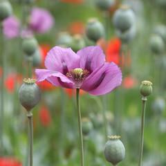 Rote und lila Mohnblumenwiese