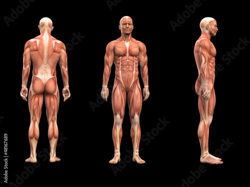 GamesAgeddon - Mann, Anatomie Muskeln 3D - Lizenzfreie Fotos ...