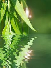 PLANTAS NATURALES, SAUCE LLORÓN. SPA, TRATAMIENTO MEDICINAL