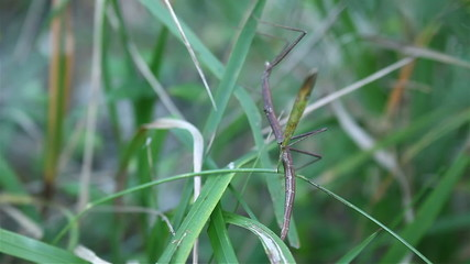 Stick insect mimicry