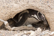 magellanic penguin brooding