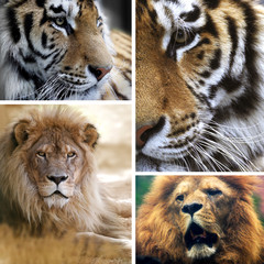 Big cats collage
