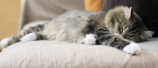 Gatta siberiana sul divano