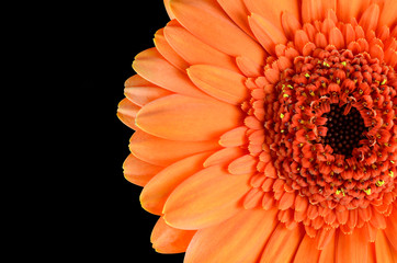 Orange Gerbera Flower Macro Isolated on Black