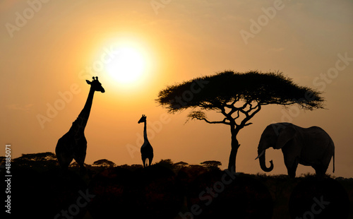 Fotobehang Giraffe Giraffes and Elephant with Acacia tree with Sunset
