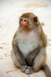 Cute monkey on the beach, full body, close-up, Asia