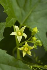 flower Bryonia