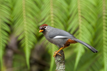 chestnut-capped laughingthrush,fraserhill,malaysia