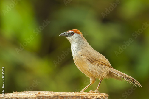 Chestnut-capped babbler from thailand