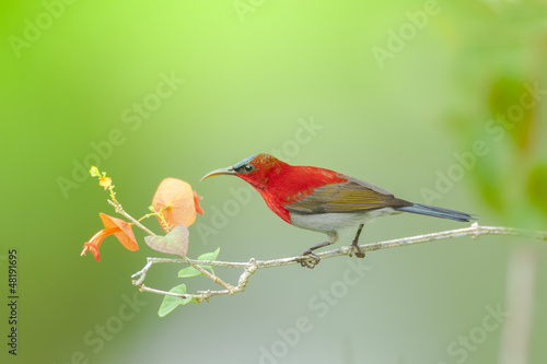 Crimson sunbird on branch, thailand