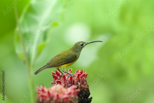 Little Spiderhunter on butterfly, thailand