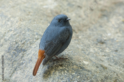 plumbeous water redstart from thailand
