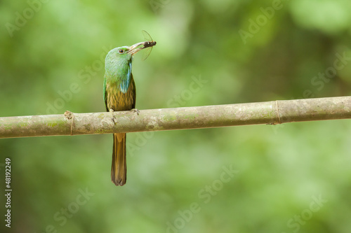 Blue-bearded Bee-eater on branch from kangkrachan, thailand