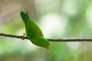 Vernal Hanging Parrot, thailand