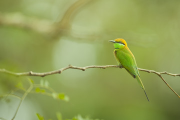 Chestnut-headed bee-eater on branch from thailand