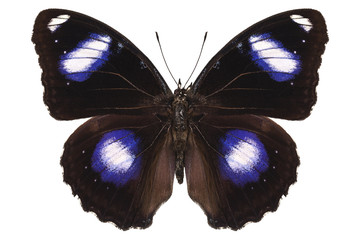 """Butterfly species Hypolimnas bolina male """"Great Eggfly"""""""
