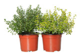 thyme and lemon-thyme herb plants in pots  isolated on white