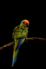 Conure, Aratinga Auricapilla, isolated on Black